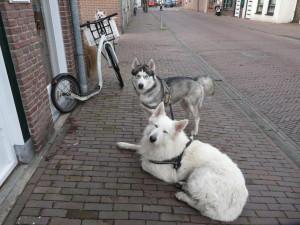 Steppen met je hond kan ook met 3 honden